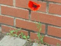 Laissons pousser sous les pavés... des fleurs