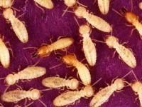 Termites : quelles solutions pour s'en protéger ?