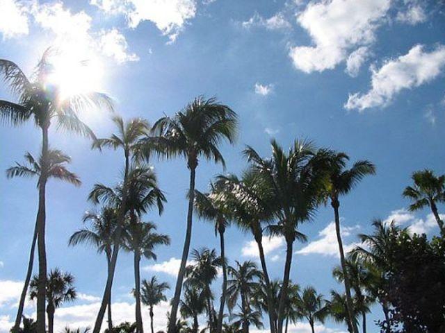 palmiers
