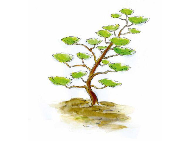 Tout savoir sur la taille des arbres en nuage - Comment tailler un olivier en nuage ...