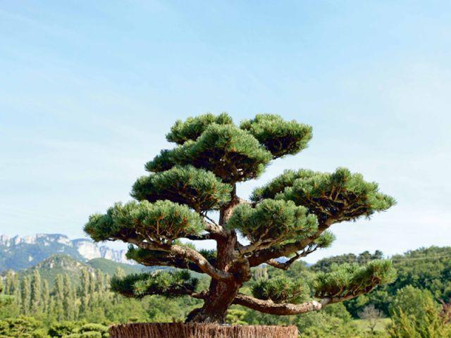 Tout savoir sur la taille des arbres en nuage for Olivier taille nuage