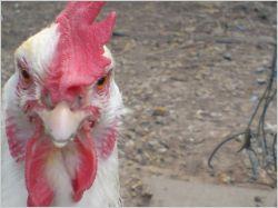 Des poules pour réduire les déchets