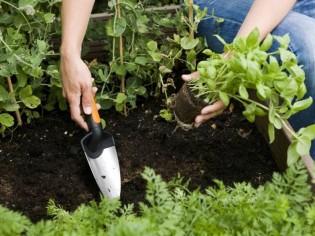 Conseils pour jardiner sans engrais ni pesticides