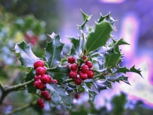 Houx, gui, poinsettia : attention, ces plantes peuvent être toxiques