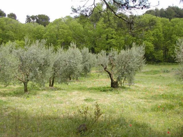 terrain oliviers la fe