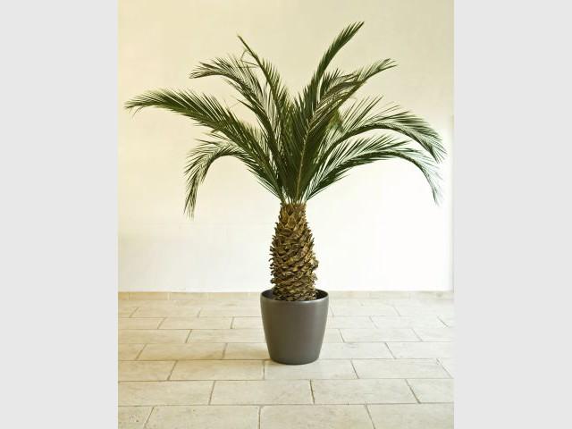 Palmier - Plantes stabilisées - Meamea