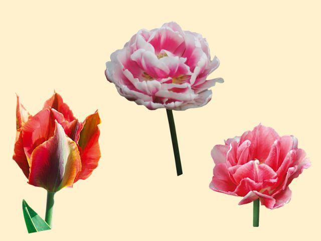 Jardin automne tulipes