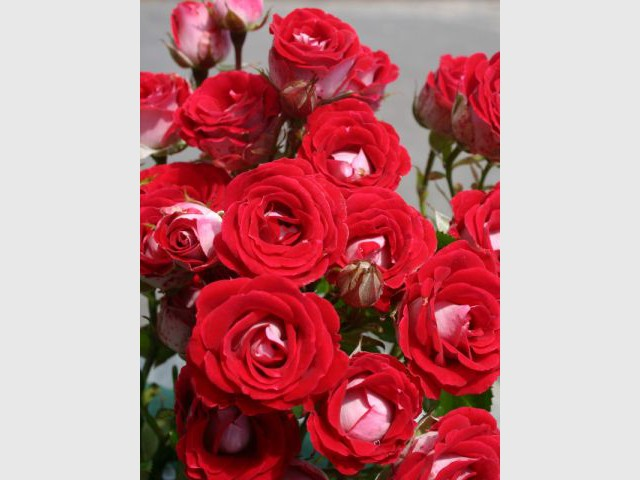 Des roses rouges dans le jardin de la Reine de Coeur - Alice au Pays des Merveilles