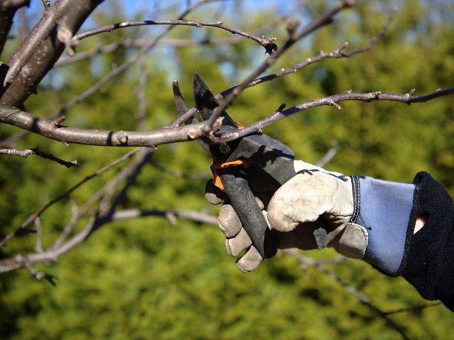 Tailler les arbustes pour éviter que les branches ne cassent sous le poids de la neige - Les bons réflexes face au gel