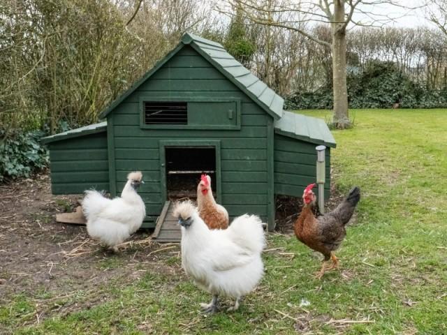 Accueillir des poules dans son jardin, une idée écolo et tendance