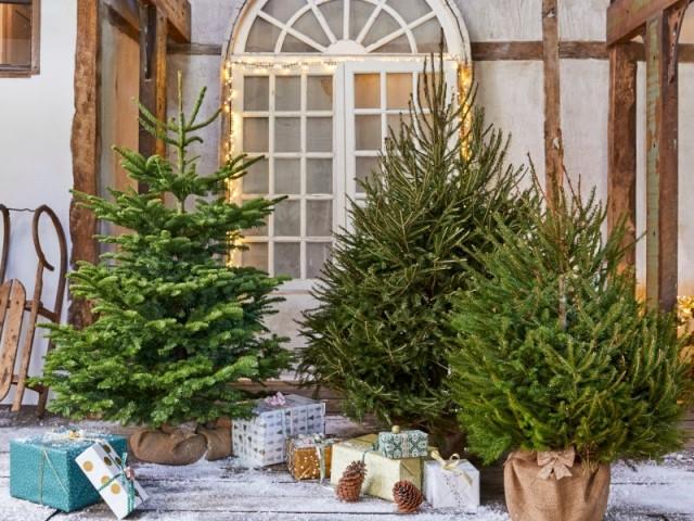 Il existe plusieurs espèces différentes de sapin de Noël naturel, chacun avec ses qualités... et ses défauts !