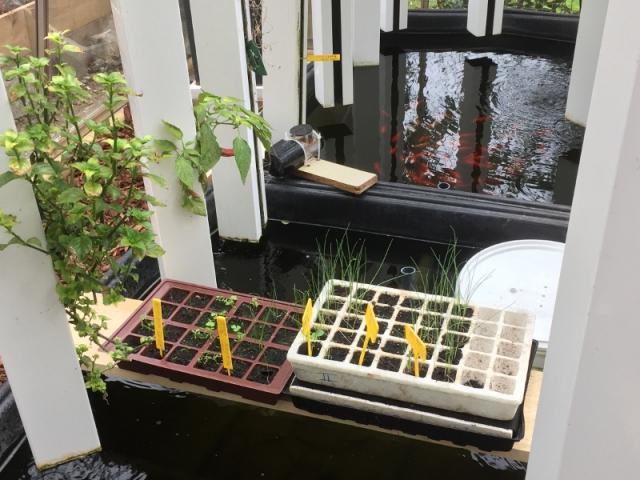 L'aquaponie dans les serres Myfood