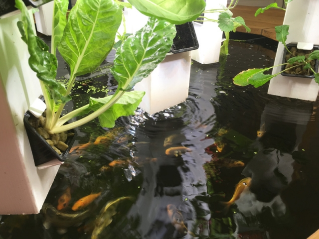 Faire pousser des plantes grâce aux poissons, c'est le principe de l'aquaponie